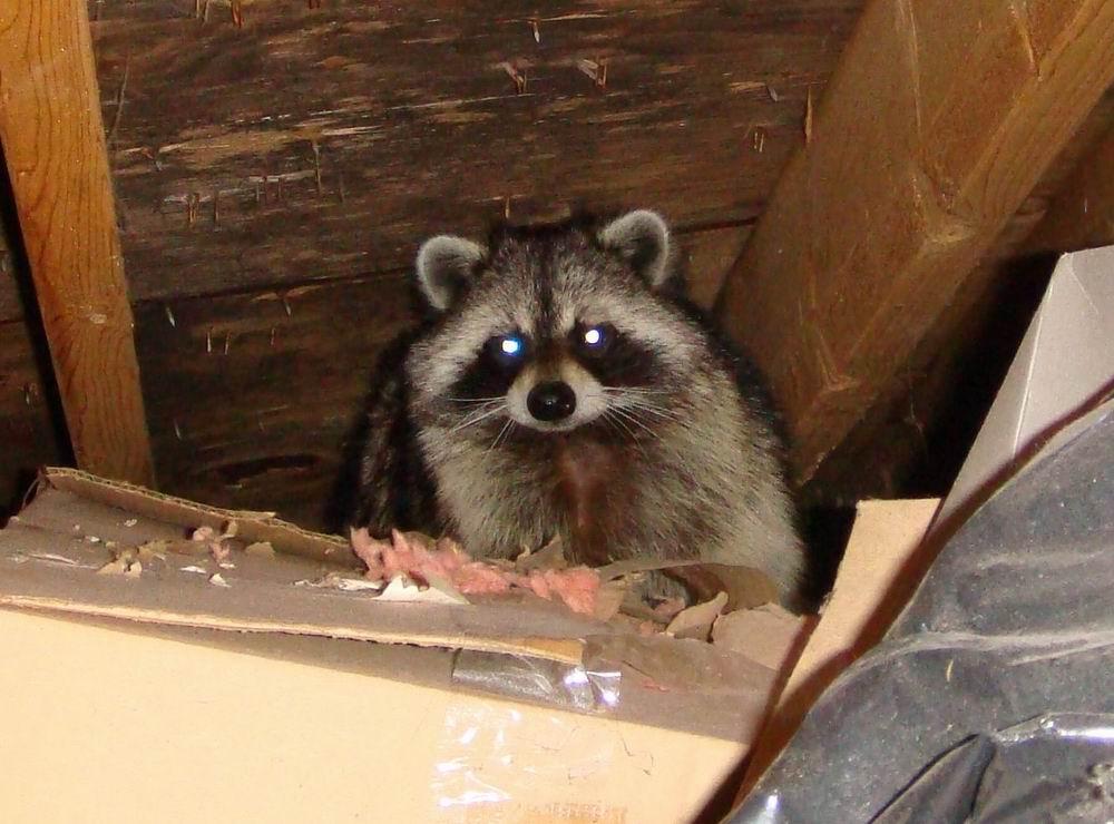 San Diego Raccoon Removal